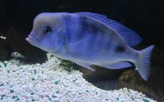 Рыба дельфин аквариумная