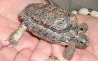 Самые маленькие черепахи