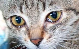 У кошки постоянно слезятся глаза