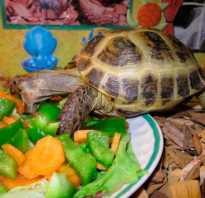 Что кушают маленькие черепахи