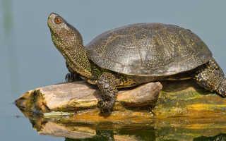 Европейская болотная черепаха содержание в домашних