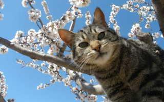 Лечение микоплазмы у кошек