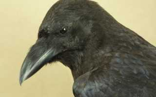 Все о воронах птицах
