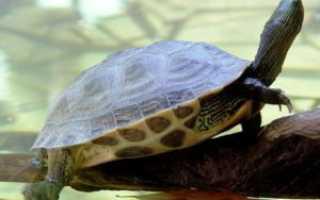 Морские черепахи домашние