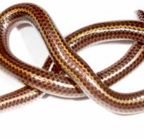 Какая самая маленькая змея