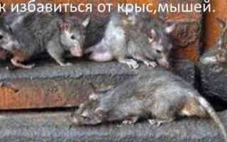 Крыса без еды сколько может жить