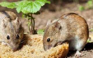 Что едят мыши дома