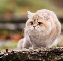 Британский котенок с голубыми глазами
