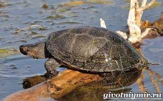 Где обитают черепахи в россии