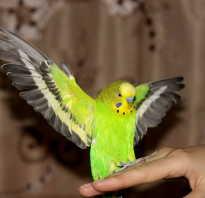 Попугай краткая информация