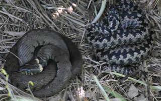Черная змея с красной головой