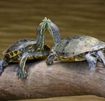 Как спариваются сухопутные черепахи