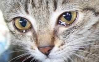 Схема лечения коронавируса у кошек