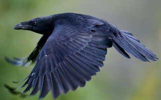 Ворона и ворон