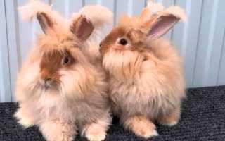Сколько живут ангорские кролики