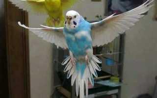 Продолжительность жизни волнистых попугаев в домашних
