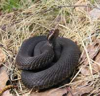 Гадюка змея фото ядовитая