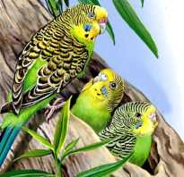 Волнистые попугаи в дикой природе видео