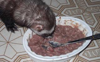 Как перевести хорька на сухой корм