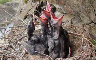 Когда вороны выводят птенцов