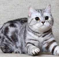 Чем кормить шотландских котов