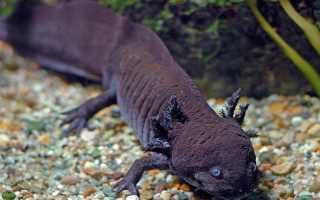 Водяной дракон рыба