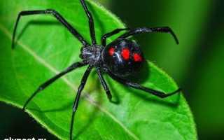 Как называется паук черная вдова