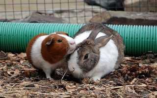 Кролик или морская свинка кого выбрать
