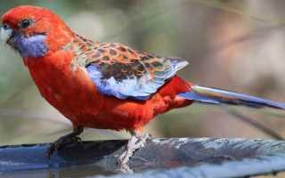 Попугай розелла уход и содержание