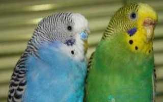 Что будет если попугаю вырвать хвост