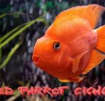 Японский попугай рыба