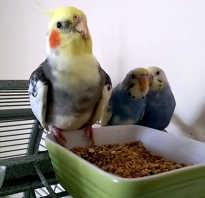 Как уживаются корелла и волнистый попугай