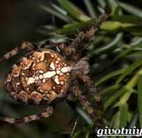 Чем кормить паука крестовика