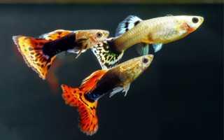 Температура для аквариумных рыбок гуппи