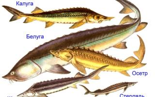 Самые крупные пресноводные рыбы осетровые