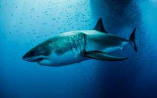 Фото акула мегалодон