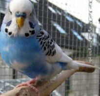 Желто голубой волнистый попугай