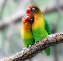 Попугай неразлучник продолжительность жизни