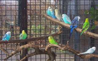 Чириканье волнистых попугайчиков