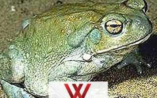 Что такое жаба в интернете