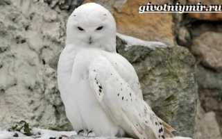 Полярная сова животное