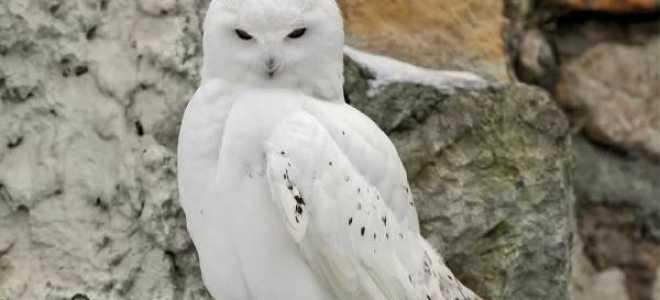 Важная информация о полярной сове