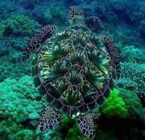 Как дышат черепахи под водой