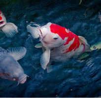 Как называются полосатые аквариумные рыбки