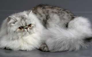 Порода персидский кот