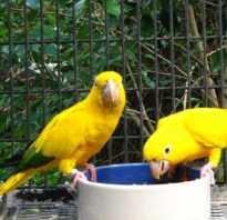 Как приучить попугая к поилке