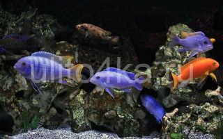 Аквариумные рыбки семейства цихлиды