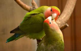 Попугай неразлучник кричит