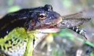 Значение лягушек в жизни человека