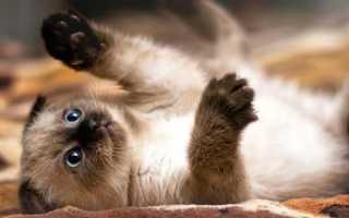 Клички для кошек сиамских
